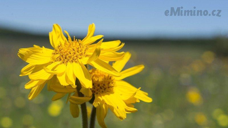 Arnica montana se vyrábí z byliny prha arnika. Zdroj: Redakce