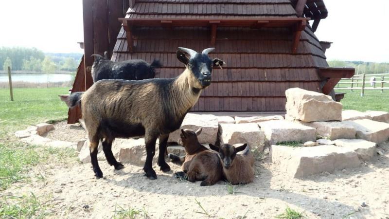 Zoo se zvířátky, které si mohou děti pohladit, ve Fajnparku. Koza s kůzlaty.